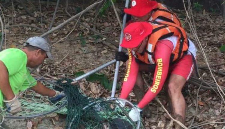Corpo de Bombeiro Militar do Maranhão realiza resgate de Lobo Marinho.